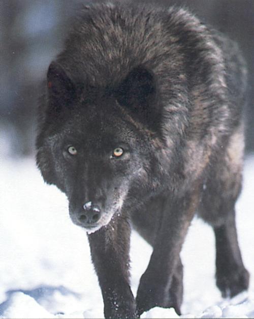 Charte de la ChatBox - Page 3 Loup_noir